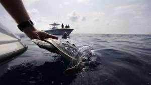 Schildpad Golf van Mexico vrijlaten
